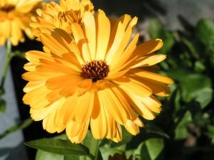 Die sanfte Ringelblume - Calendula